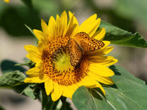 Close-up of a sunflower with a butterfly on it.